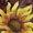 Merlot Sunflowers